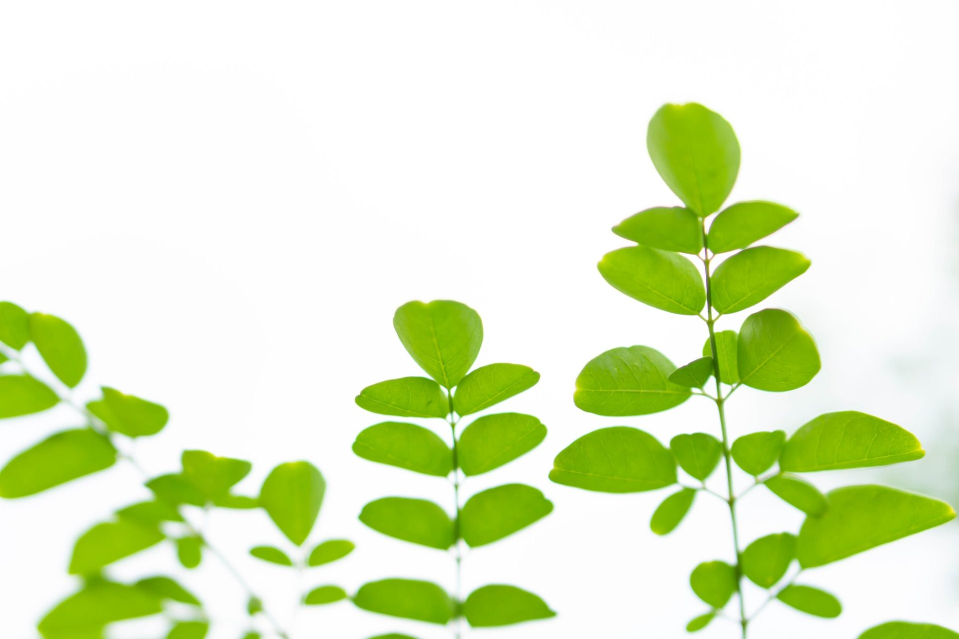 Closeup young moringa leaves branch, herb and medical concept
