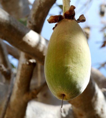 baobab-3977711_1280.jpg