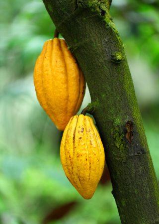 cocoa-pods-Z5W83AP-1-scaled.jpg