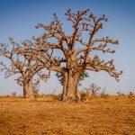 two-huge-baobab-trees-in-the-dry-sandy-savannah-of-FAGPUX5-1-scaled.jpg